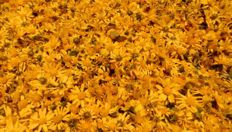 採集した島寒菊の花