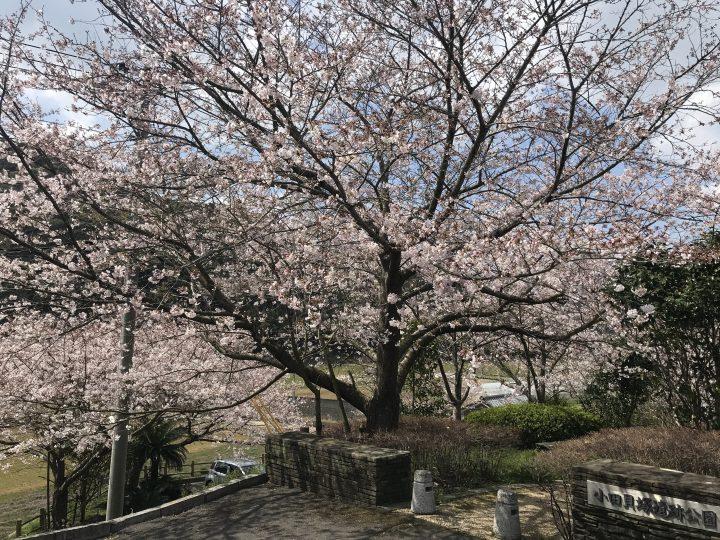 春爛漫の雪浦 桜の小田貝塚公園 2019